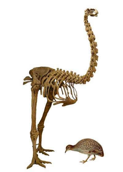 Giant moa skeleton next to a much smaller tinamou.