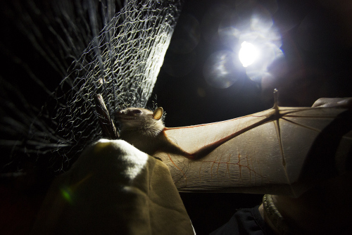 A bat captured at night in a biologist's mist net.