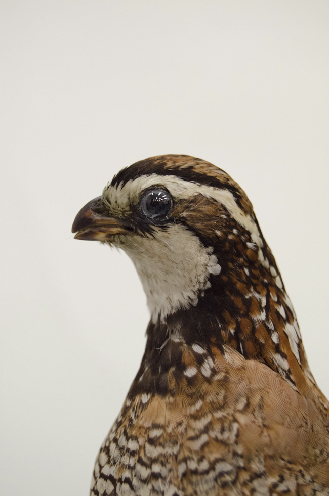 closeup of a northern bobwhite bird, a quail-like prairie bird