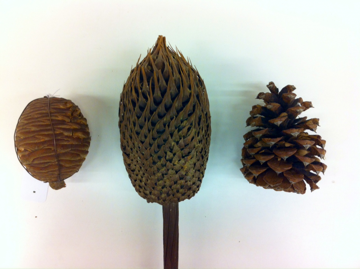 From left to right: Cedrus deodora (himalayan cedar) female cone; Cycas revoluta (sago cycad) male cone; Pinus ponderosa (ponderosa pine) female cone