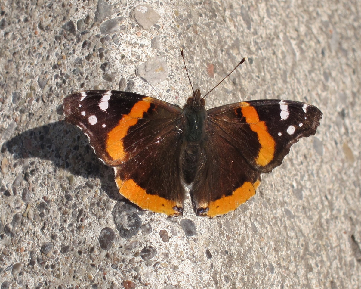 Red Admiral in Toronto