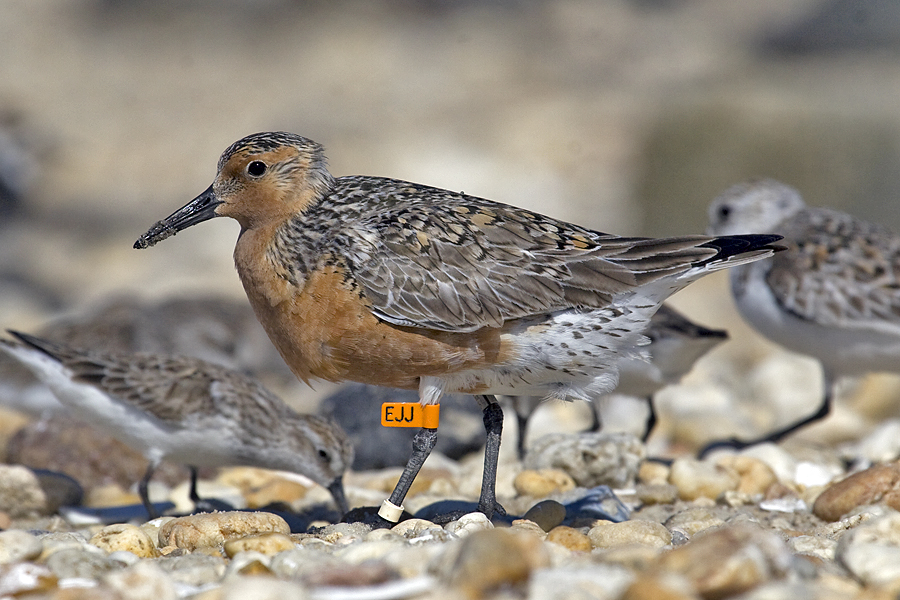 Image of red knot with bird banding on its legs
