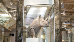 Bull, the ROM's White Rhino, welcomes visitors as they enter the Schad Gallery of Biodiversity.