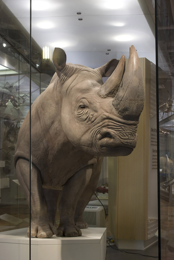 A close up of the southern white rhino in the ROM's biodiversity gallery