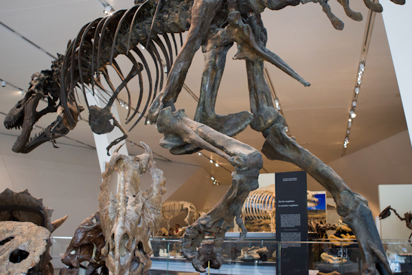 a photo from below of the tyrranosaurus rex cast skeleton in the ROM galleries. Photo by Lisa Milavic