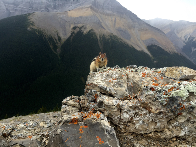 Golden-mantled ground squirrel at the top of Sulphur Skyline in Jasper, Alberta. Photo by Shannon Duane