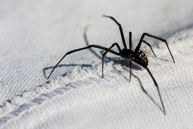 a northern black widow spider crawls across the inside of a cotton net