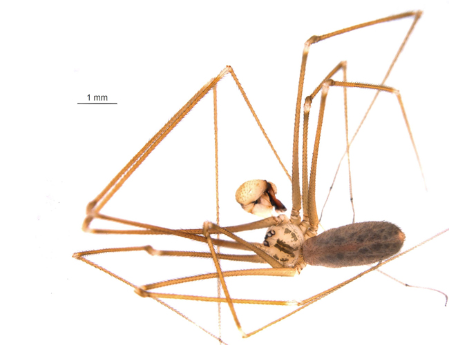 a specimen photo of the Pholcus opilionoides spider individual found during the 2014 Ontario BioBlitz