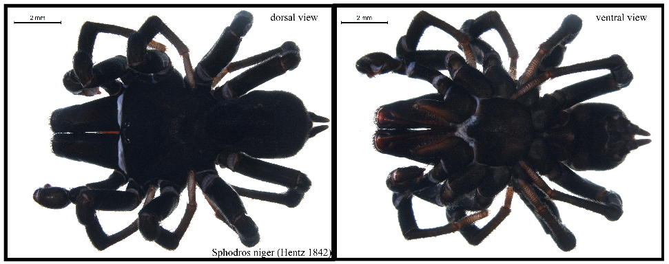 A pair of photos, showing a close up top and bottom view of a black purse-web spider