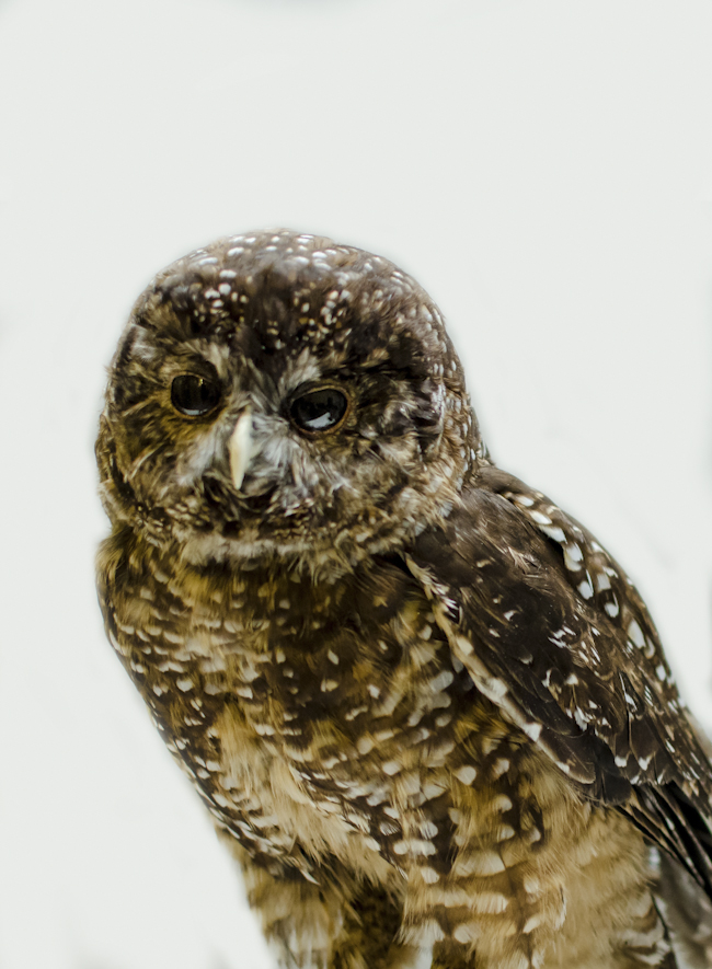 portrait of a spotted owl stuffed specimen at the ROM