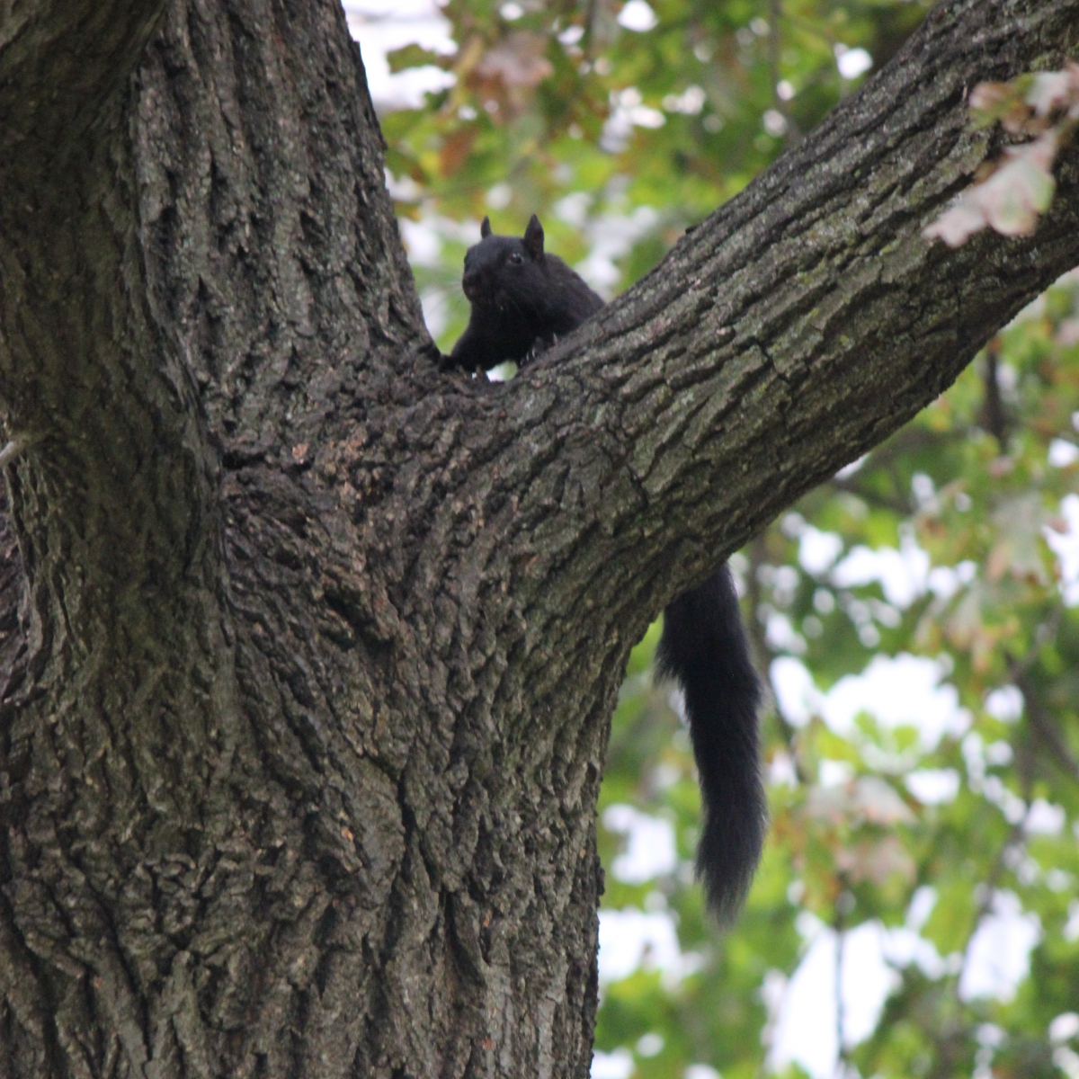 Black squirrel climbing a tree
