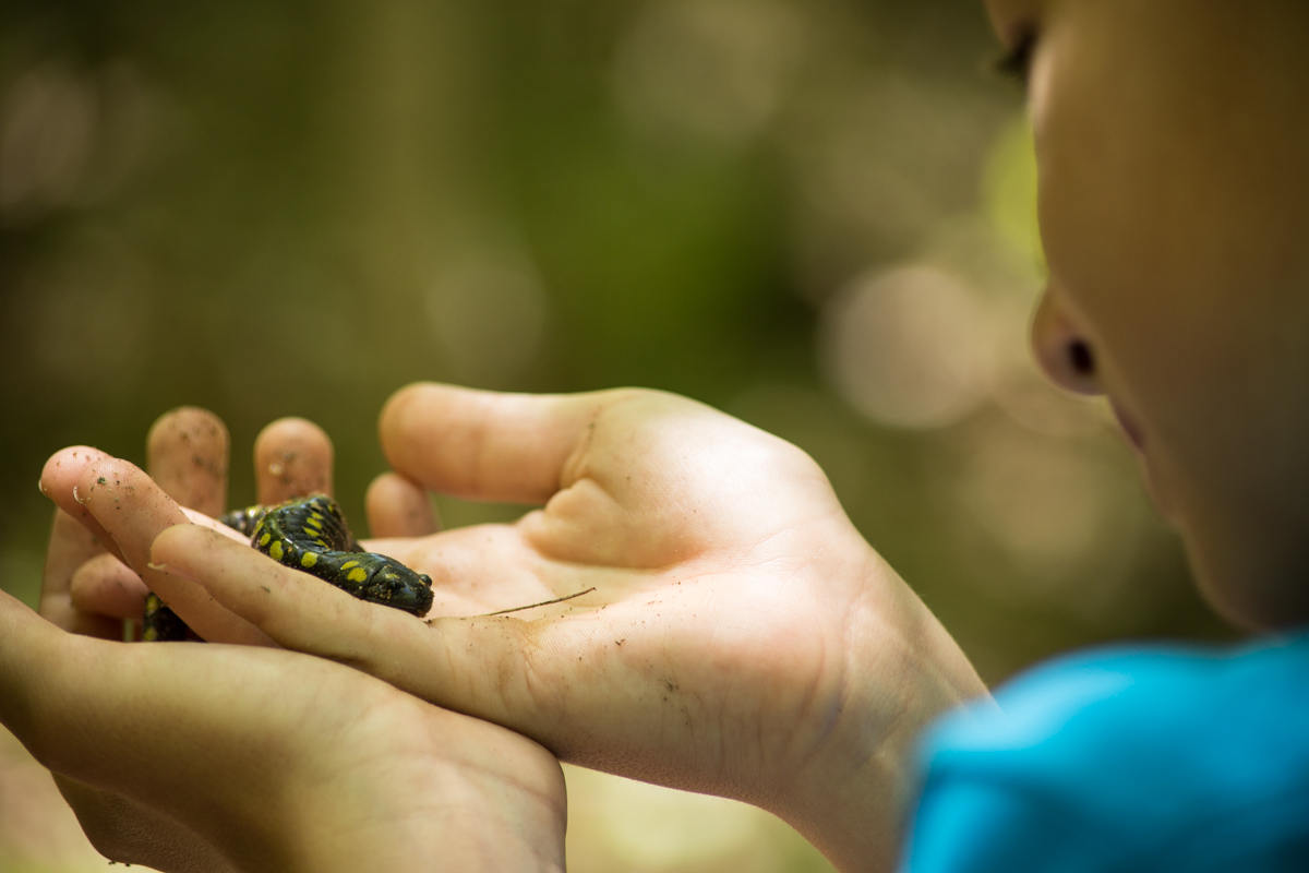 A young participant holds up a spotted salamander in their hands for closer inspection. Photo by Tallie Garey