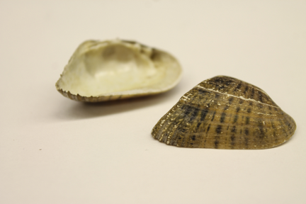 Freshwater mussel shells