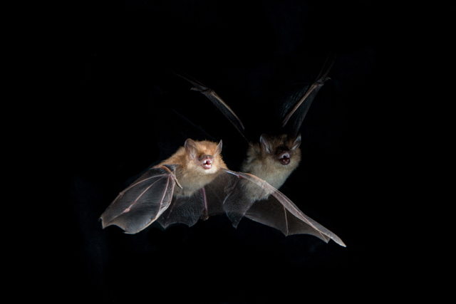 Murina cyclotis bat in flight from #ROMSriLanka. Photo by Vincent Luk