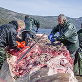 Workers attach ropes to the blue whale flesh