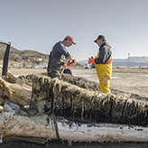 Mark Engstrom cuts up the dead whale