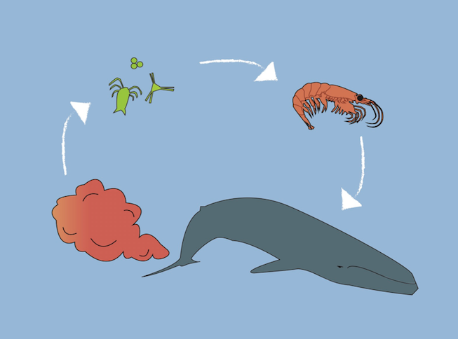 The fecal cycle: Whales poop which feeds the microorganisms, which are eaten by krill, which are eaten by whales, and the cycle repeats itself. Art by: Meghan Callon