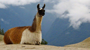Photo of Llama sitting on a rock