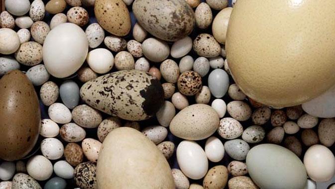 Les œufs, les nids, les plumes et les empreintes aident à identifier différentes espèces.
