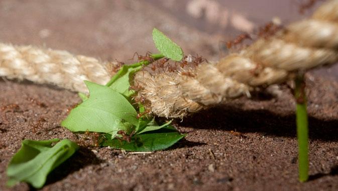 Colonie de fourmis coupeuses de feuilles