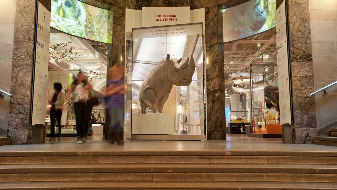 "Display case at the gallery entrance featuring a statuesque ""Bull"", the ROM's white rhino."