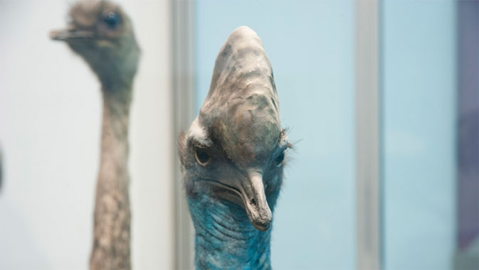 Learn about flightless birds, like the Cassowary.