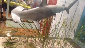 A hammerhead shark preys on rays