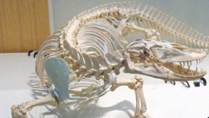 Komodo dragon skeleton