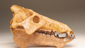 photo of an entelodont skull