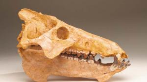 Entelodont skull