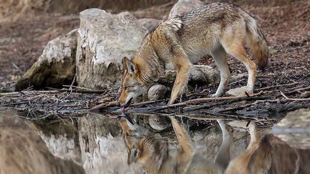 winning photo of the ROM Wildlife Photographer of the Year Photo Contest - a coyote drinks from a stream in Toronto, photo by Steven Rose