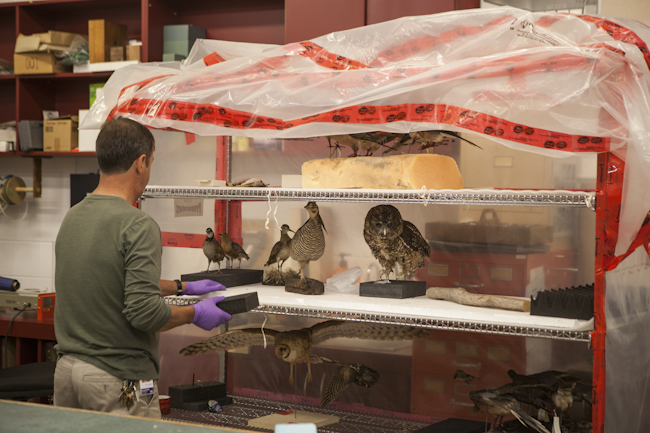 A museum preparator collects the Species At Risk that will be added to the Empty Skies Passenger Pigeon exhibit