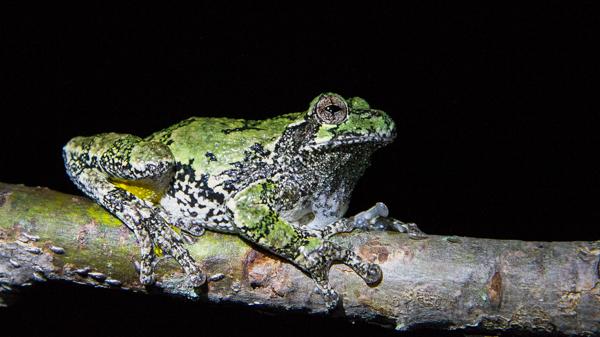 A gray treefrog (Hyla versicolor) sits on a tree branch at night. Photo by Sean de Francia