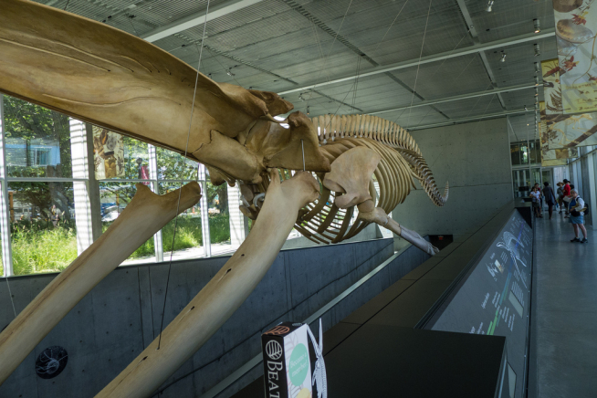 The blue whale skeleton hangs in the atrium at the Beaty Museum.