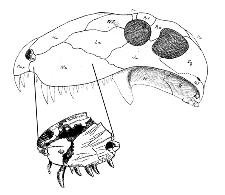 Illustration of skull.