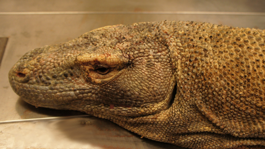 A close-up of the Komodo Dragon head before preparation of the speciman began