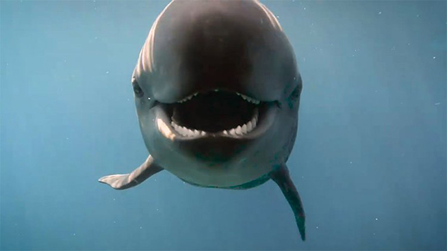 Chester - a false killer whale at the Vancouver Aquarium. (Credit: Vancouver Aquarium)