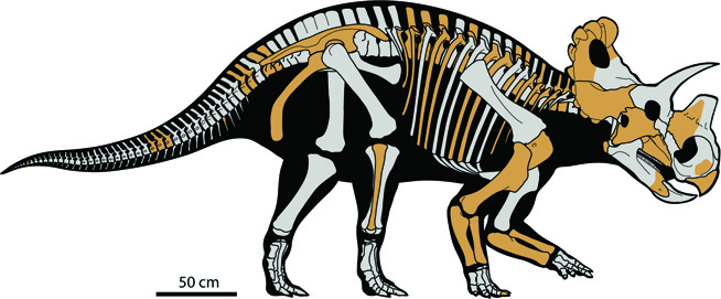 drawn picture of the skeleton of the Wendiceratops