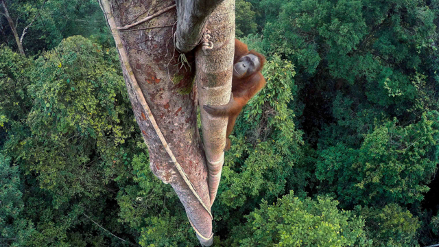 """This year's overall winner of Wildlife Photographer of Year is Tim Laman and his photo story, """"While the forest still stands."""" This image from the story is titled """"Entwined lives."""" It shows an orangutan high in a tree with the rest of the canopy below"""