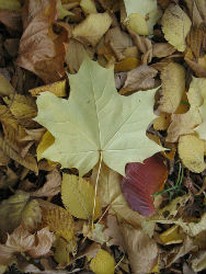 Maple leaf on forest floor; http://commons.wikimedia.org/wiki/File:Maple_leaf.jpg#file