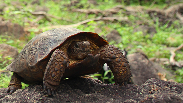 A new species of tortoise named Goode's Thornscrub Tortoise, described today by Dr. Robert (Bob) Murphy and colleagues in the Journal ZooKeys. Photo taken in Reserva Monte Mojino, Sonora, Mexico, 24 August, 2013 Photo by Taylor Edwards
