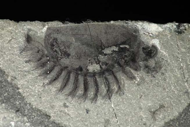 A new fossil arthropod from Marble Canyon (Kootenay National Park)