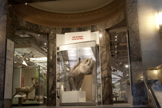 A large make Southern white rhino dominates the entrance to the ROM's biodiversity gallery