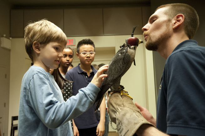 A young boy carefully pets the back of a hooded Peregrine falcon