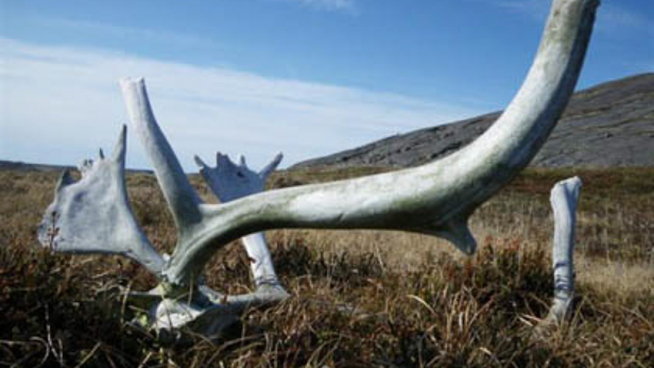 Caribou Skull lying on the grass