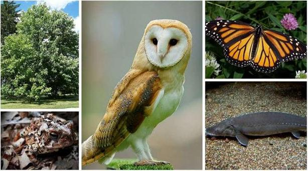 Images of assorted species at risk from Ontario, including a Barn owl, a Monarch butterfly, a Lake Sturgeon, and a Fowler's toad.