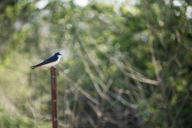 A small blue and white bird sits on a post against background of vegetation.