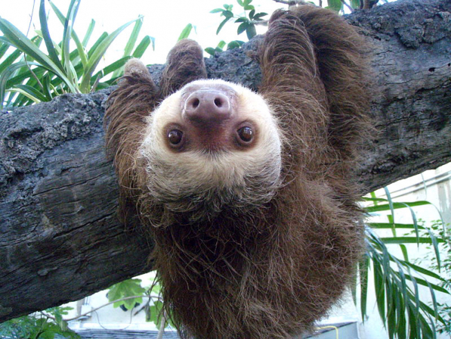 Upside-down Two-toed sloth