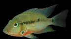 A species of Thorichthys , a genus of cichlids from Central America