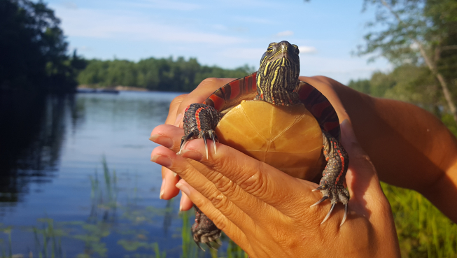 A turtle being held before it is released back to the wetland where it was found.